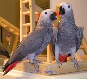 AFRICAN GREY PARROTS FOR ADOPTION/REHOMING